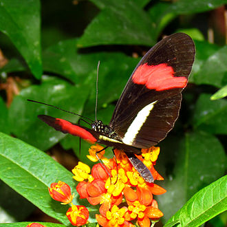 Heliconius melpomene - Image: Common Postman butterfly