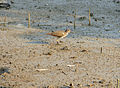 Common Sandpiper (Actitis hypoleucos) (15849995531).jpg