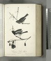 Common Snow-Bird.. 1. Male. 2. Female (NYPL b13559627-108426).tiff
