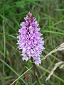 Common Spotted Orchid (Dactylorhiza fuchsii) - geograph.org.uk - 849401.jpg