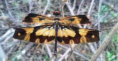 Common picture wing female.jpg