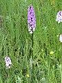 Common spotted orchid - Dactylorhiza fuchsii - panoramio (1).jpg