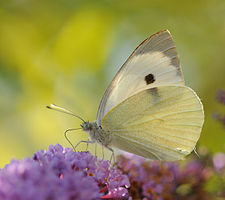 ComputerHotline - Pieris brassicae (by).jpg