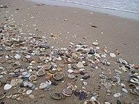 Seashell/