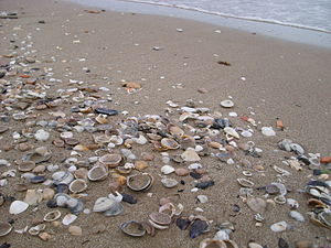 Mactra stultorum - Seashells washed up on the beach in Valencia, Spain; nearly all are single valves of bivalve mollusks, mostly of Mactra corallina