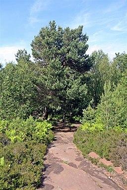 Conifer, Thurstaston Common (geograph 2990429)
