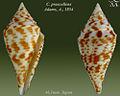 Conus praecellens 2.jpg