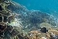 Convict surgeonfish Acanthurus triostegus and brushtail tang Zebrasoma scopas (5816267875).jpg