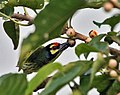 Coppersmith Barbet on Pilkhan Tree I IMG 8185.jpg