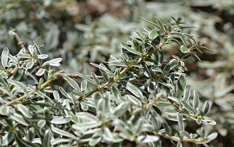 file coprosma x kirkii cv  variegata plant jpg