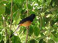 Copsychus malabaricus -Foster Botanical Garden, Honolulu, Hawaii, USA-8a.jpg