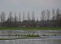 Cormorans au marais