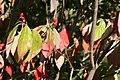 Cornus florida Cherokee Princess 11zz.jpg