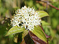 Cornus sanguinea (inflorescense).jpg