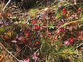 Cornus suecica skrubbebär Blefjell IMG 1451.jpg