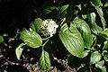 Cornus walteri kz01.jpg