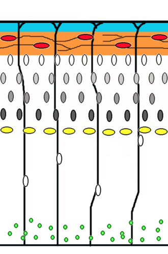 Neural development - Corticogenesis: younger neurons migrate past older ones using radial glia as a scaffolding. Cajal-Retzius cells (red) release reelin (orange).