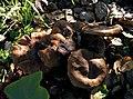 Cortinarius ohlone Bojantchev 843543.jpg