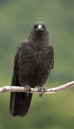 A Northwestern Crow near Whittier, Alaska.