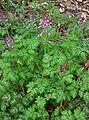 Corydalis incisa1.jpg