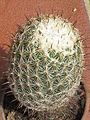Coryphantha cornifera 3.JPG