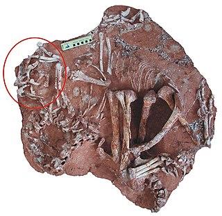 <i>Corythoraptor</i> Extinct genus of dinosaurs