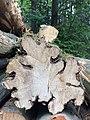 Coupe transversale d'un charme (Carpinus betulus).jpg