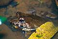 Crab-eating Frog (Fejervarya cancrivora) (14112823786).jpg