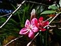 Crab Apple Flower.JPG