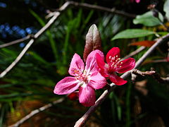 Crab Apple Flower.JPG