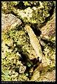 Crambidae (5184327579).jpg