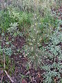 Crassula capensis Cape snowdrop and invasive Australian Hakea sericea 9818.jpg