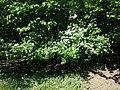 Crataegus laevigata (subsp. laevigata) sl26.jpg