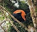 Crested Satinbird. Cnemophilus macgregorii (48727041671).jpg