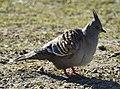 Crested pigeon, Centennial Park (01).jpg