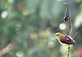 Crimson-backed sunbird IMG 5365.jpg