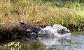 Crocodylus intermedius 01.jpg