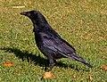 Crow (6264684286).jpg