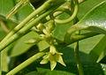 Cryptolepis buchananii (Indian sarsaparilla) W3 IMG 3219.jpg