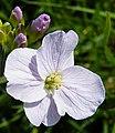 Cuckoo Flower or Lady's Smock (Cardamine pratensis) - geograph.org.uk - 1341188.jpg