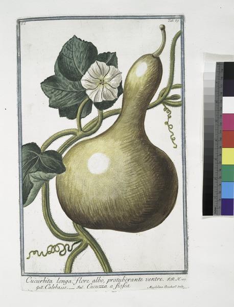 File:Cucurbita longa flore albo, protuberante ventre - Calebasse - Cucuzza a fiafca. (Bottle gourd) (NYPL b14444147-1124997).tiff