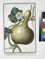 Cucurbita longa flore albo, protuberante ventre - Calebasse - Cucuzza a fiafca. (Bottle gourd) (NYPL b14444147-1124997).tiff