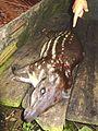 Cuniculus paca Panama.jpg