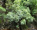 Cunonia capensis tree Afromontane forest Cape Town.JPG
