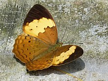 Cupha erymanthis at Kadavoor.jpg