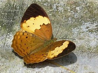 Cupha erymanthis - Typical individual, Kerala, India