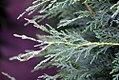 Cupressocyparis Emerald Isle 1zz.jpg