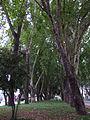 Curico, Alameda arboles (9145094555).jpg