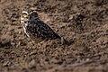 Curious Owl (194331651).jpeg