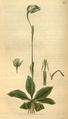 Curtis's Botanical Magazine, Plate 3085 (Volume 58, 1831).png